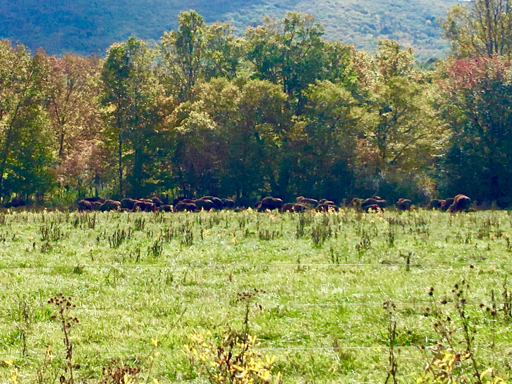 Green grass, buffalo in the distance against backdrop of autumn trees and mountains behind