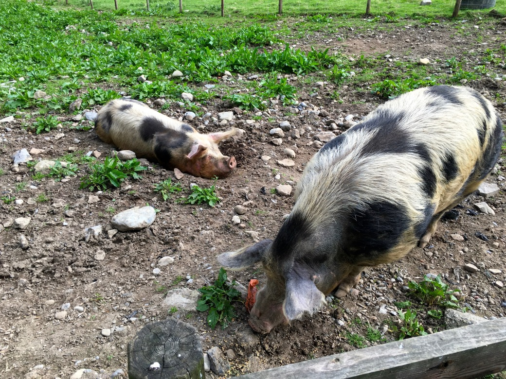 two white pigs with big black spots, one laying in a rocky yard and one standing and eating in the yard